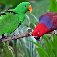 Jigsaw Eclectus 200px