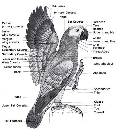 Bird eye anatomy