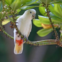 endangered philippine cockatoo