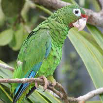 endangered puerto rican amazon