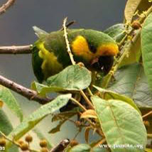 endangered yellow eared conure