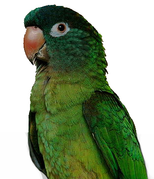 pic conure bluecrown
