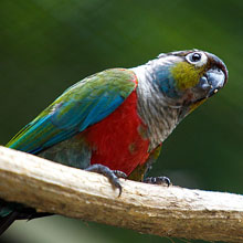 Crimson-bellied Conure