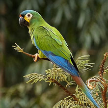 Illiger's Macaw