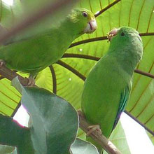 Green-rumped Parrotlet
