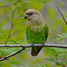Brown headed Parrot