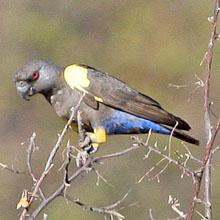 Ruppels Parrot