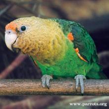 WPT Cape Parrot